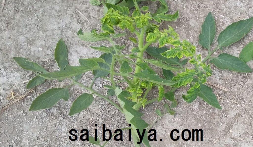黄化葉巻病 トマト
