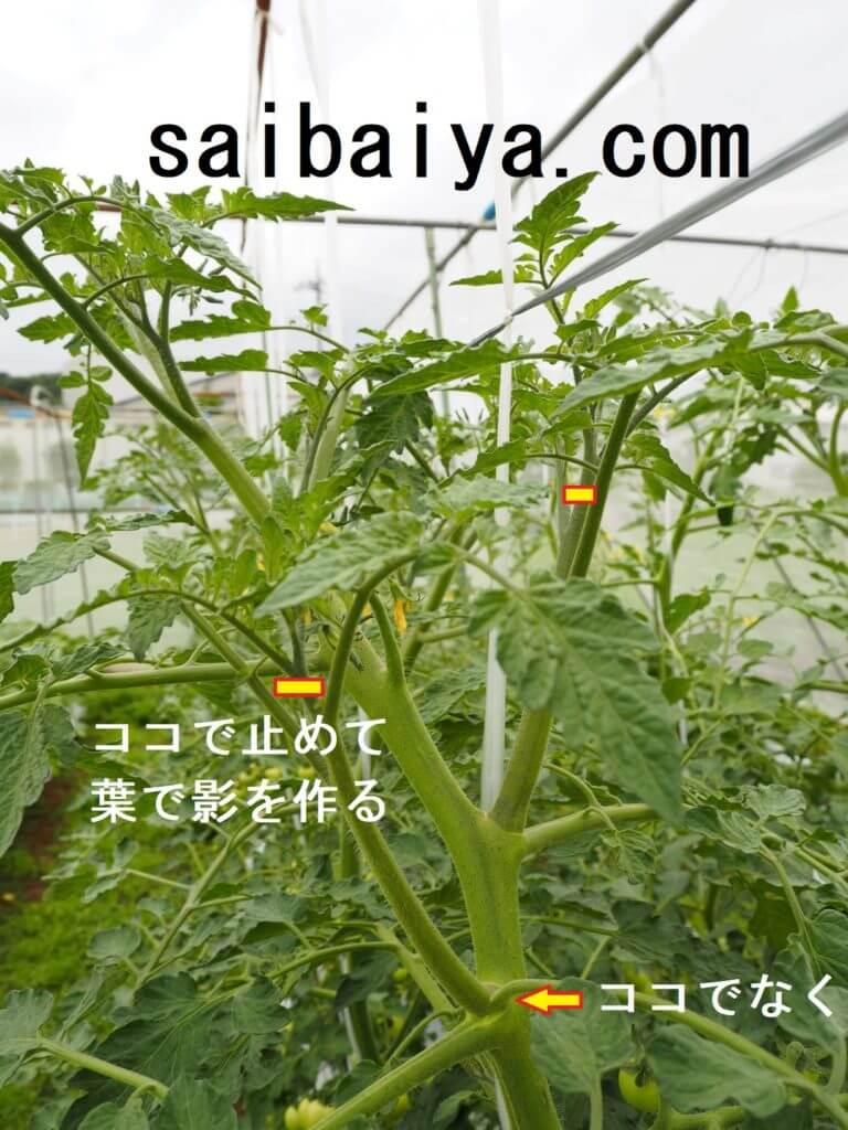 芽欠き トマト
