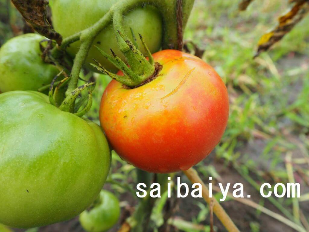 トマト 側面裂果