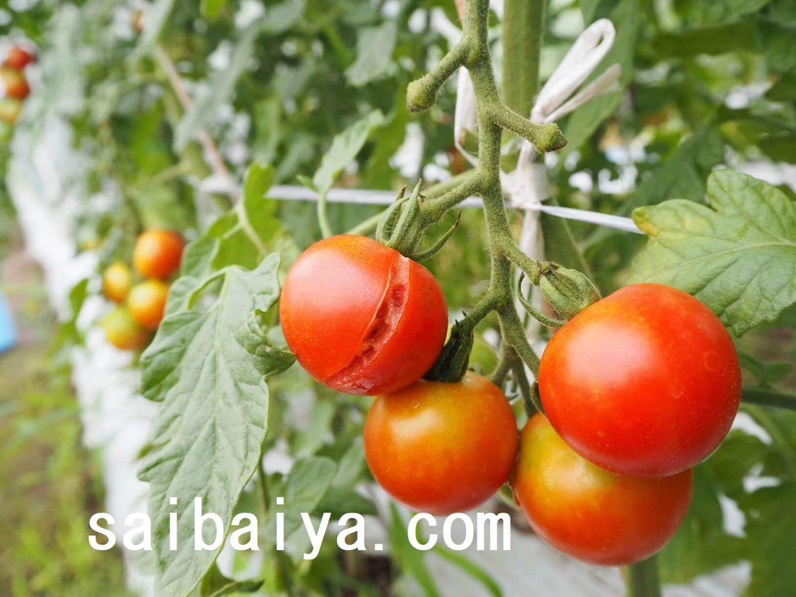 裂果 ミニトマト