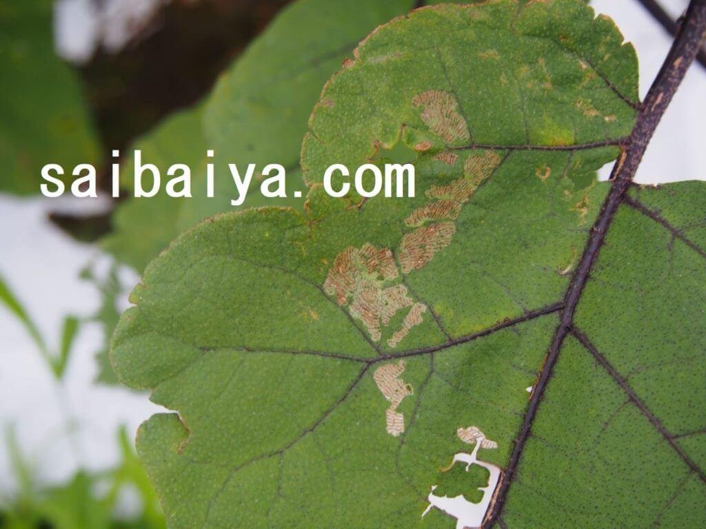ニジュヤホシテントウ 食害痕