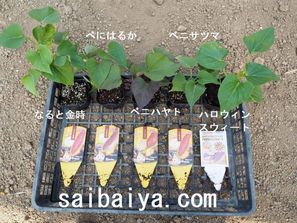 サツマイモ 苗