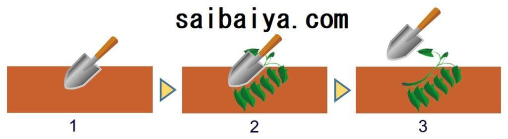 サツマイモ 植え付け