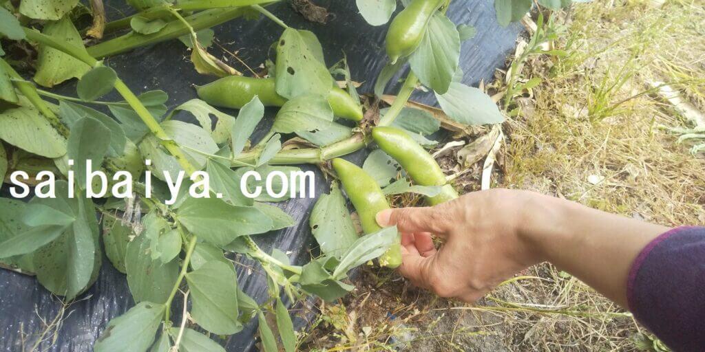 ソラマメ 収穫